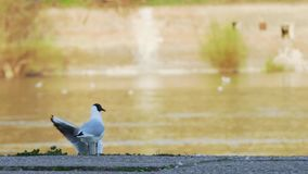 De rivierzeemeeuwen die van Donau en zich rond oever in zonsondergang vliegen bewegen stock video