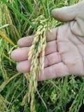Or de riz de champ en Thaïlande Photographie stock libre de droits