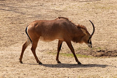 De roan antilope Royalty-vrije Stock Fotografie