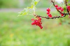 de rode aalbes groeit op een struik in de tuin, bes, oogst, de zomer, installatie Bos van rode aalbes op een tak Het concept van  royalty-vrije stock foto