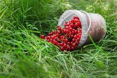De rode aalbesbessen in plastiek kunnen op gras Stock Foto's
