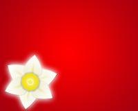 De rode achtergrond van de gele narcis Stock Foto's