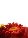 De rode achtergrond van de madeliefjekaart Royalty-vrije Stock Foto