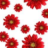 De rode achtergrond van zijdegerbera Stock Afbeeldingen