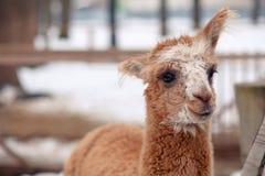 De rode alpaca heft één oor op Stock Foto