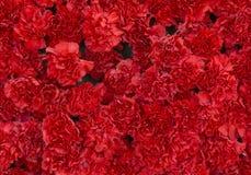 De rode anjer bloeit achtergrond Bloesemtextuur De zomerpatroon Royalty-vrije Stock Foto's