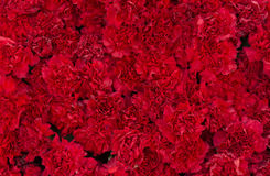 De rode anjer bloeit achtergrond Bloesemtextuur De zomerpatroon Royalty-vrije Stock Afbeeldingen