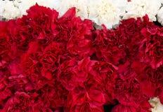 De rode anjer bloeit achtergrond Bloesemtextuur De zomerpatroon Stock Foto's