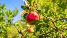 De rode appelen groeien op een boom in de tuin royalty-vrije stock afbeelding