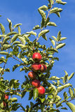 De rode appelen groeien op een tak tegen blauwe hemel Royalty-vrije Stock Foto