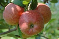 De rode appelen van de boom Royalty-vrije Stock Foto's