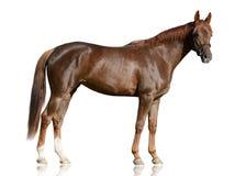 De rode Arabische raspaard status geïsoleerd op witte achtergrond Stock Foto's