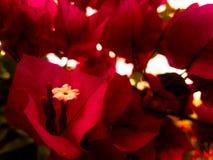 De rode Banga-Nadruk van de Bloemenclose-up royalty-vrije stock afbeelding