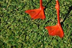 De rode benen van de zeemeeuw met grasdetail Royalty-vrije Stock Afbeeldingen