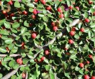 De rode bessen van Cotoneasterhorizontalis op een zonnige dag Stock Foto
