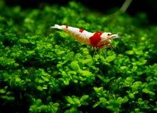 De rode bijengarnalen blijven op gras of aquatisch mos met donkere en groene achtergrond stock foto
