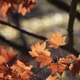 De rode Bladeren Royalty-vrije Stock Fotografie