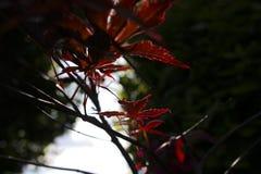 De rode bladeren glanzen tegen onderdrukkende struiken Royalty-vrije Stock Fotografie