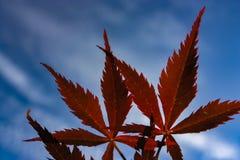 De rode bladeren overheersen de hemel Stock Afbeeldingen