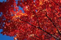 De rode Bladeren van de Esdoorn Stock Foto