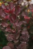 De rode Bladeren van de Herfst Dauw op bladeren De herfst Ochtend Royalty-vrije Stock Afbeeldingen