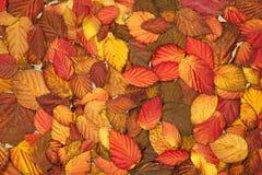 De rode bladeren van de herfst Ondiepe dof Stock Fotografie