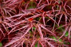 De rode Bladeren van de Varen Stock Afbeeldingen