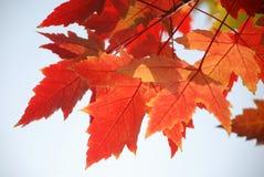 De rode bladeren van de vliegtuigboom stock foto's