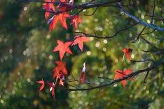 De rode bladeren van een Canadese esdoorn op de groene vage achtergrond Stock Fotografie