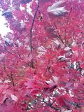 De rode Bladeren van de Herfst Stock Foto