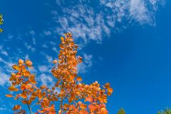 de rode bladeren van de de herfstesp tegen de hemel Royalty-vrije Stock Foto