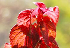 De rode bladeren van Solenostemon scutellarioides royalty-vrije stock foto