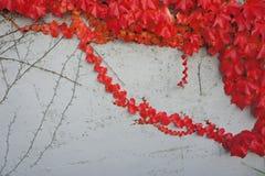 De rode bladerenHerfst Stock Afbeeldingen