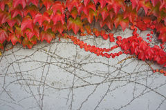 De rode bladerenHerfst Royalty-vrije Stock Foto's