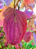 De rode bladherfst in het park royalty-vrije stock afbeeldingen