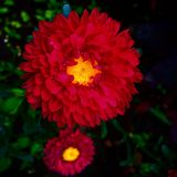 De rode bloem Stock Foto's