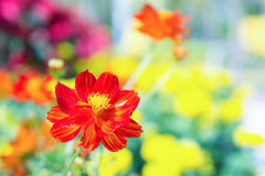 De rode bloem in het park, kleurrijke bloem Stock Foto
