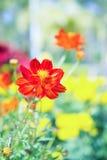 De rode bloem in het park, kleurrijke bloem Stock Afbeeldingen