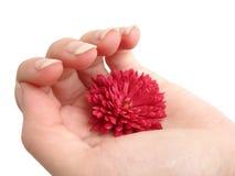 De rode bloem in overhandigt witte achtergrond Royalty-vrije Stock Foto
