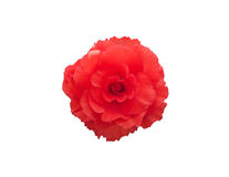 De rode bloem van Begonia Tuberhybrida Stock Fotografie