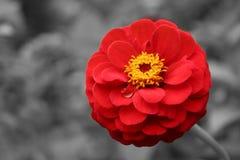 De rode bloem van bloedzinnia Stock Fotografie