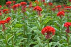 De rode bloem van de Hanekam Stock Foto's