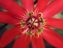 De rode Bloem van de Hartstocht stock foto's