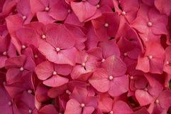 De rode bloem van de hydrangea hortensia Stock Afbeelding