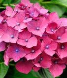 De rode bloem van de hydrangea hortensia Stock Foto