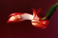 De rode bloem van de Kerstmiscactus op donkerrode achtergrond Royalty-vrije Stock Afbeelding