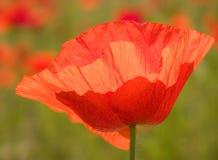 De rode Bloem van de Papaver Stock Afbeelding