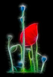De rode bloem van de papaverbloesem op de zwarte achtergrond Stock Foto