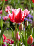 De rode bloem van de Tulp Stock Foto's