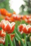 De rode bloem van de Tulp Stock Afbeeldingen